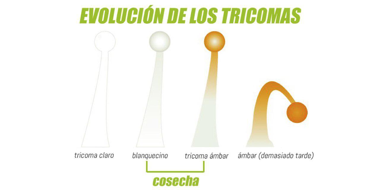 Evolución de los Tricomas de la María