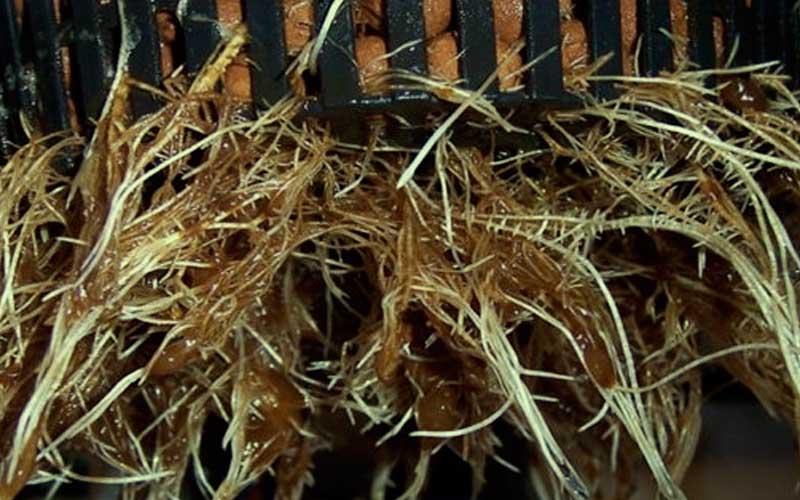 wash-roots-plants-marijuana