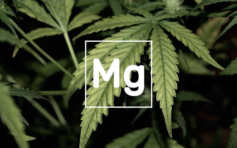 magnesium-plants-marijuana