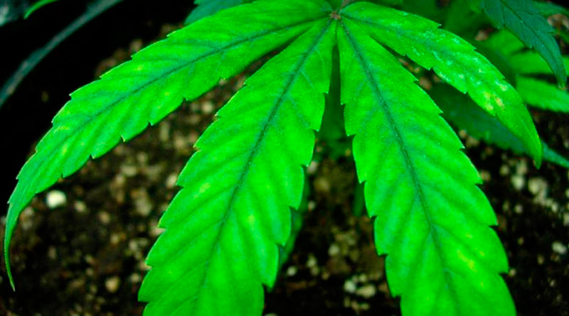 low-temperature-irrigation-cannabis