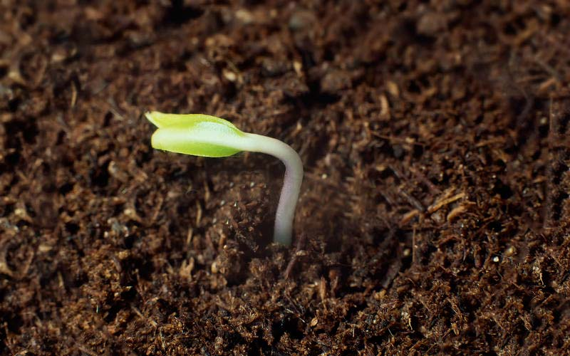 Cannabis plant germination How long does it take for a cannabis plant to grow?