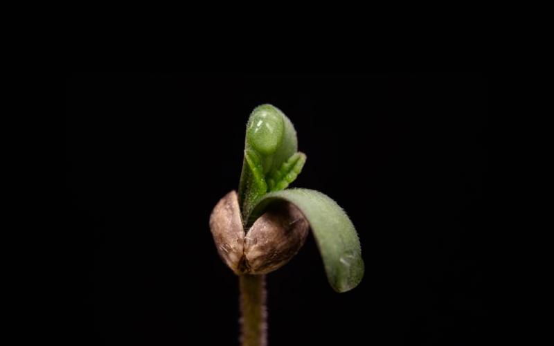 bugs-germinate-seeds-cannabis-cotyledon