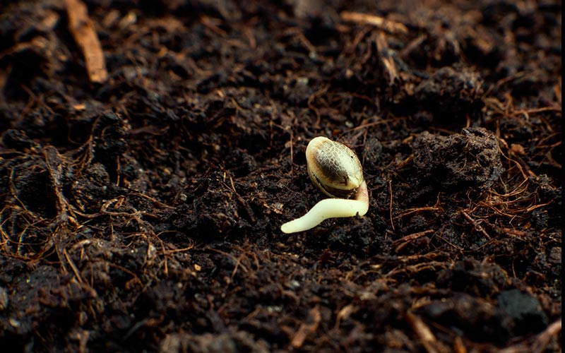 germinate-cannabis-seeds-in-substrate
