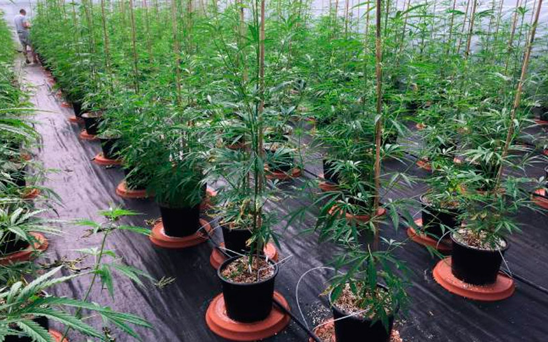 care-plants-cannabis
