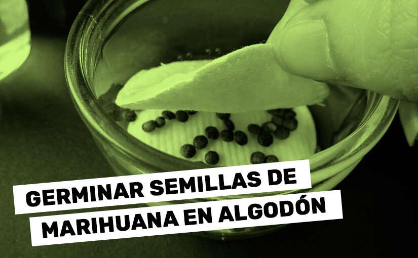 ¿Cómo Germinar Semillas de Marihuana en Algodón?