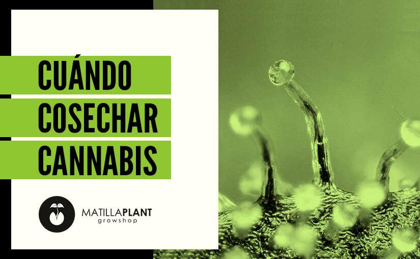 ¿Cuándo cosechar marihuana?