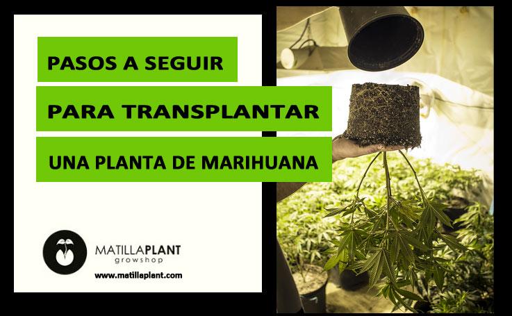 Pasos a seguir para trasplantar una planta de María