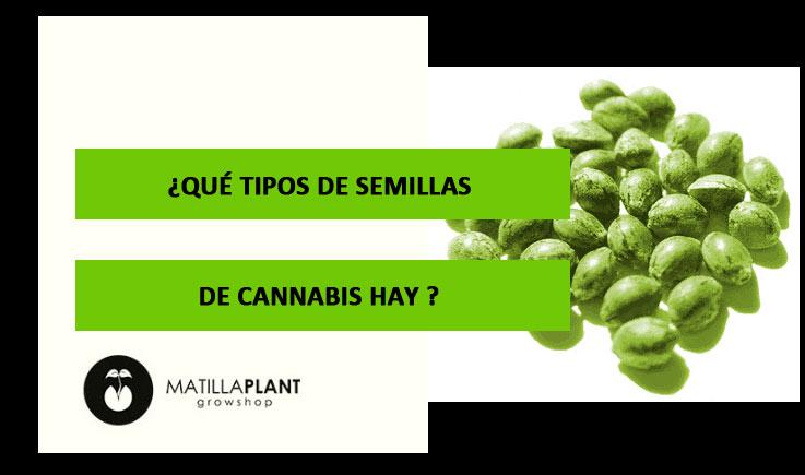 ¿Qué tipos de semillas de cannabis hay?
